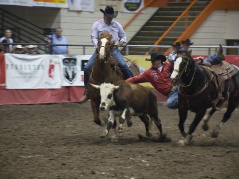 Vaqueros compitiendo por el máximo premio en Black Hills Stock Show & Rodeo