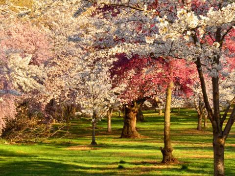 Cerezos en flor en su máximo esplendor en Cherry Blossom Festival en Branch Brook Park