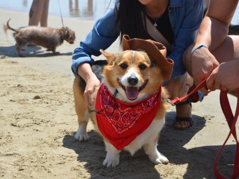 Participante orgulloso en Corgi Beach Day