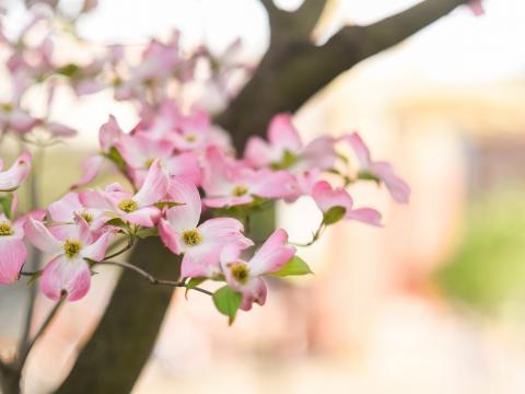 Cerezos silvestres en flor en Knoxville, Tennessee